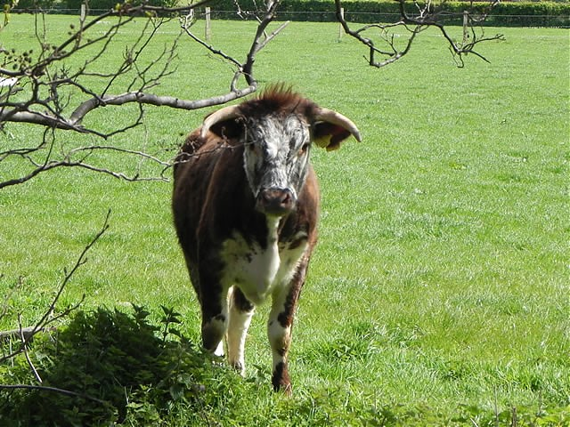 Longhorn Cattle by Dunster Castle