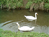 Swans Downstream from Cooks Corner