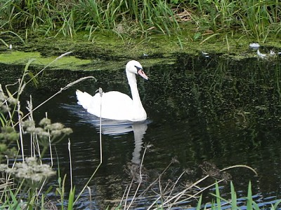 Swan by Ashcott Rail Bridge
