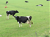 Dairy Cows near Woodspring Bay